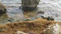 Barbados & Seaweed