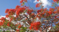 Flamboyant trees in full bloom in Barbados!
