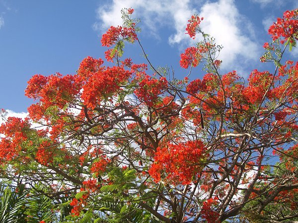 Red Flamboyant Tree in full bloom in Barbados