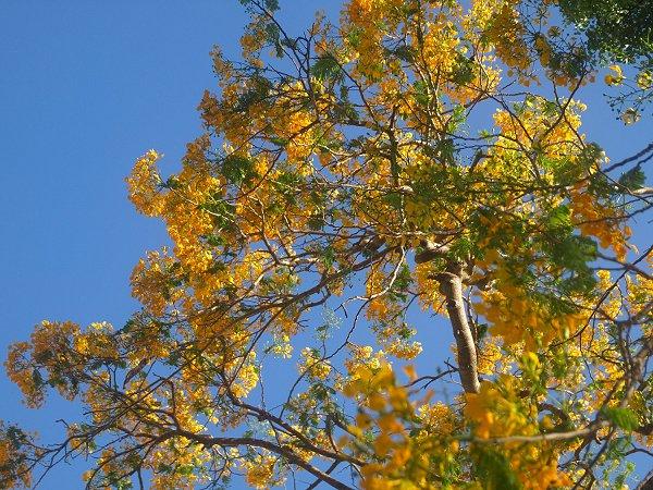 Yellow Flamboyant tree in Barbados