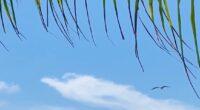 Frigatebirds Drifting Effortless On The Wind