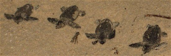 Hawksbill turtle hatchlings on the sand in Barbados