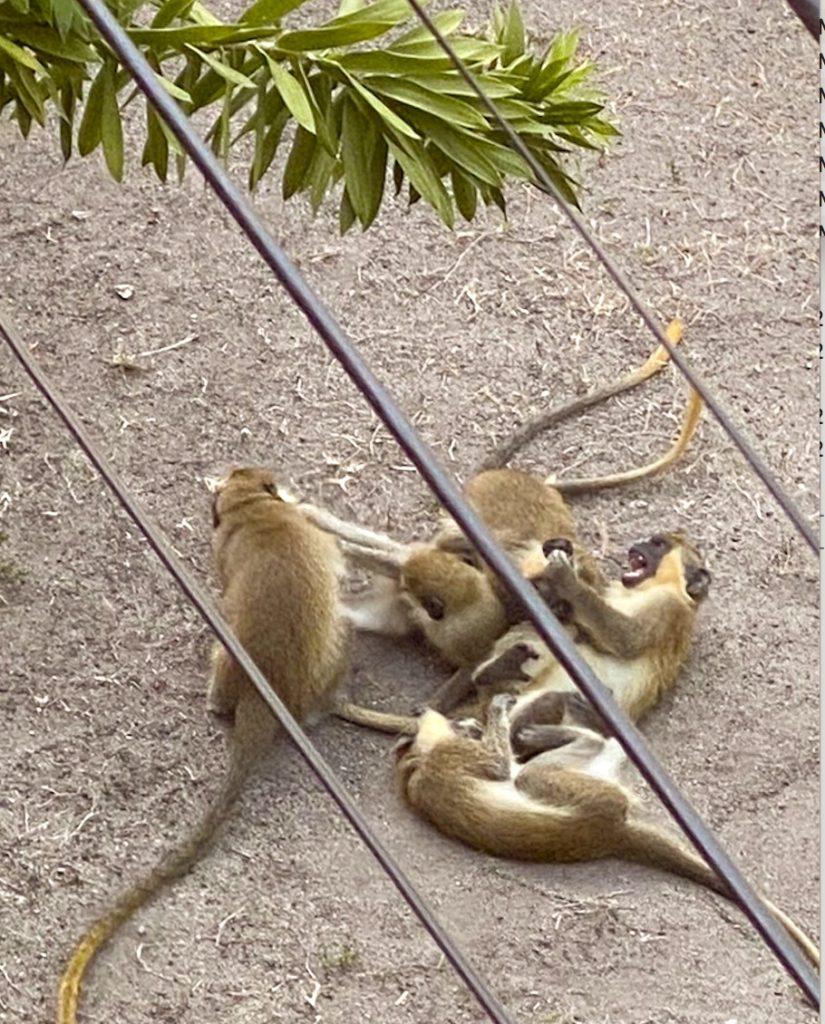 barbados monkeys traveling minstrels