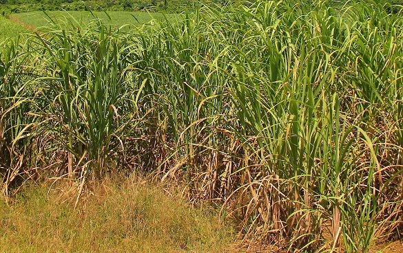 Pass the sugar cane fields we go!