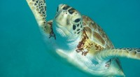 Swimming with turtles in Barbados