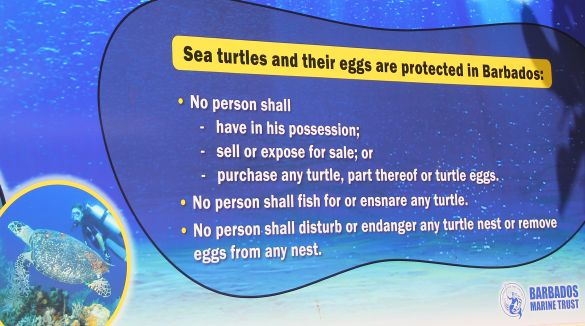 Turtle protection in Barbados