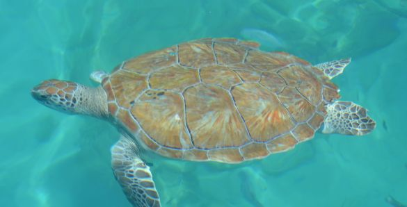 Sea turtle swimming in Barbados