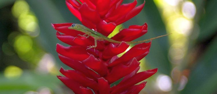 Lizard on heliconia flower