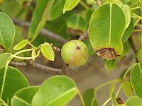Manchineel tree and fruit