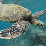 Swim with friendly turtles in Barbados!
