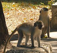 Monkeys at Batts Rock