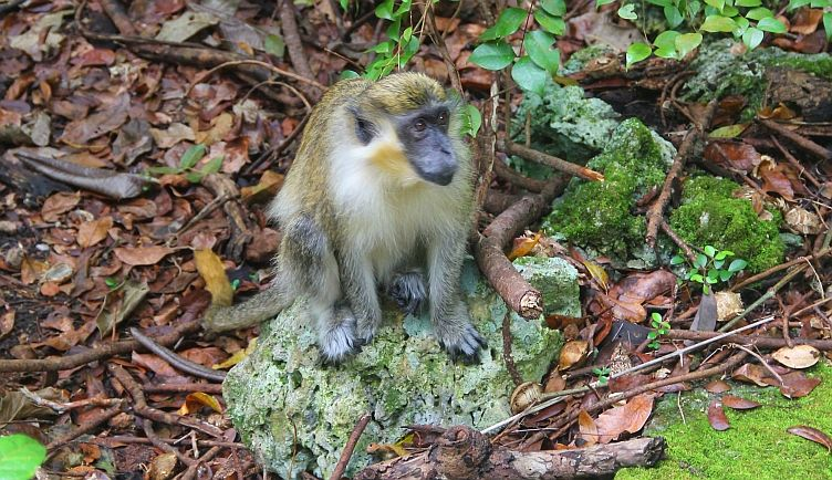 One of the monkey inhabitants of the forest