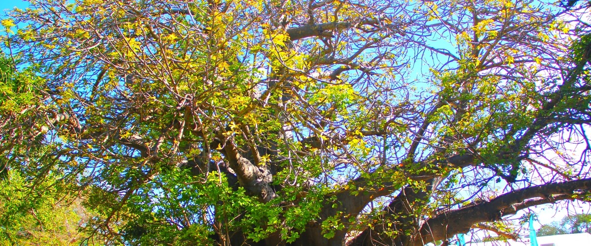 Driving Trip Planner >> Barbados Seven Wonders: The Baobab Tree