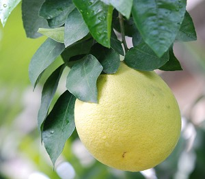The Grapefruit Tree of Barbados