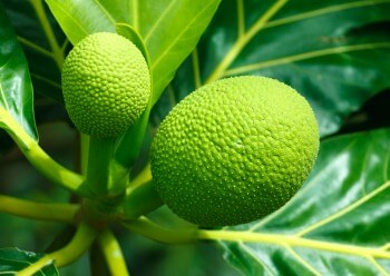 The Breadfruit Tree of Barbados