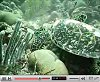 view A hungry Hawksbill Turtle on the Boot