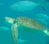 Barbados sea turtles