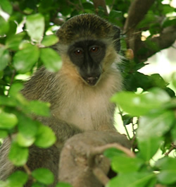Barbados Monkeys