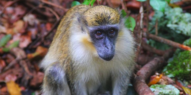 Barbados Green Monkey