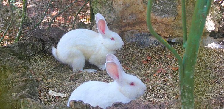 Rabbits at Barbados Wildlife Reserve