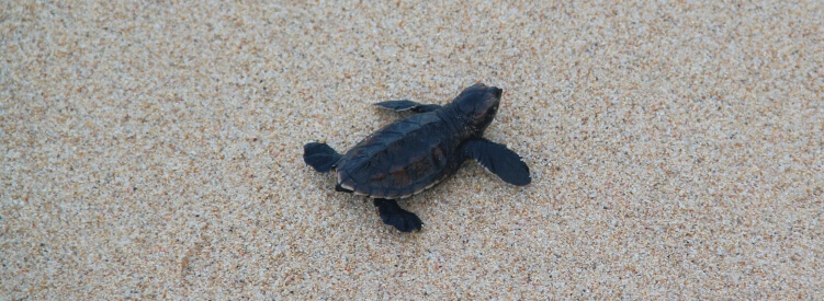 Barbados turtle hatchling