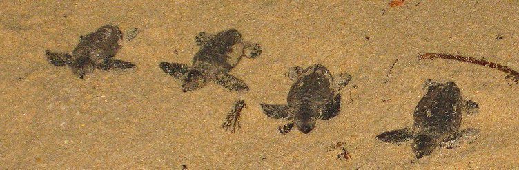 Turtle hatchlings on beach