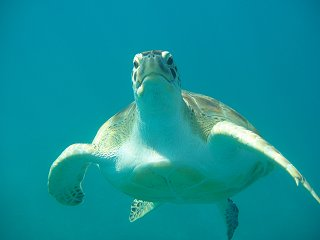 Swimming with the turtles in Barbados