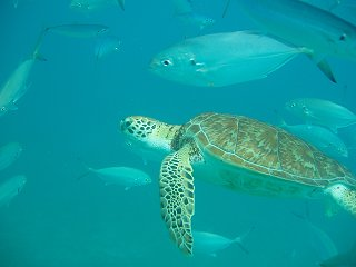 Turtle swimming off Barbados west coast
